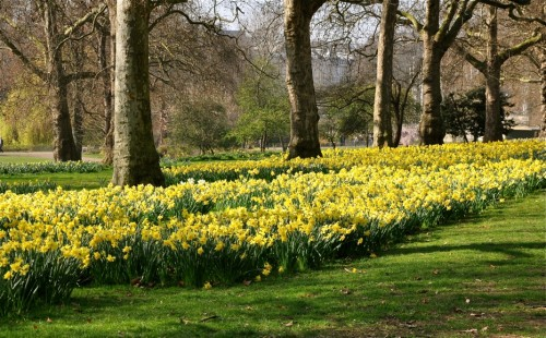 Daffodils in Green Park near Buckingham Palace - A.N. Grove