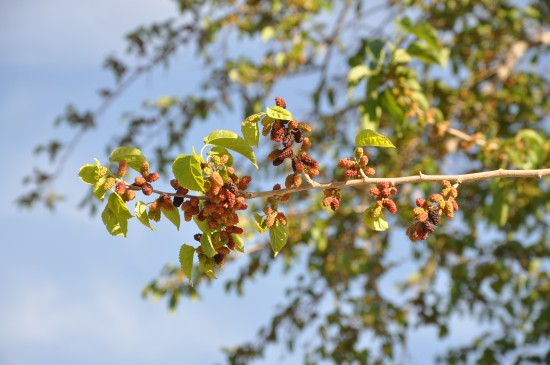 Mulberries on the ancient silk road