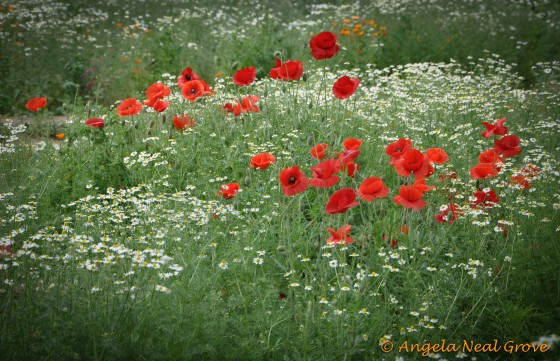 Daisies and poppies at Bukhara in Springtime