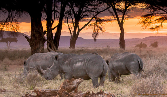 Rhino grazing peacefully
