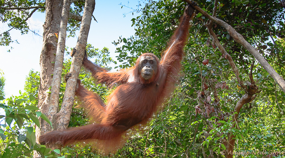 Orangutan swinging through the canopy of the Central Borneo Jungle | Photo: Angela Neal Grove