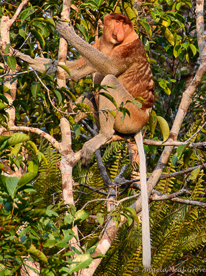 Proboscis Monkey sitting on a tree branch showing their world's longest white tails | Photo: Angela Neal Grove