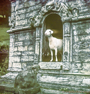 A wandering sheep peers from an archway in an old Hindu temple