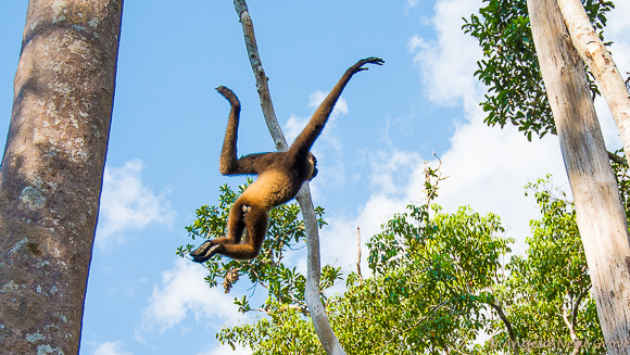 Gibbon leaping through trees at Camp Leakey