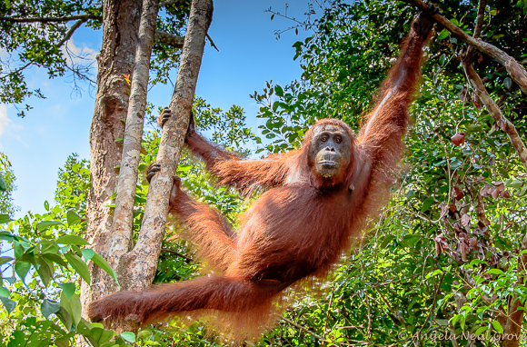 Endangered orangutan swinging through the forest canopy in Borneo