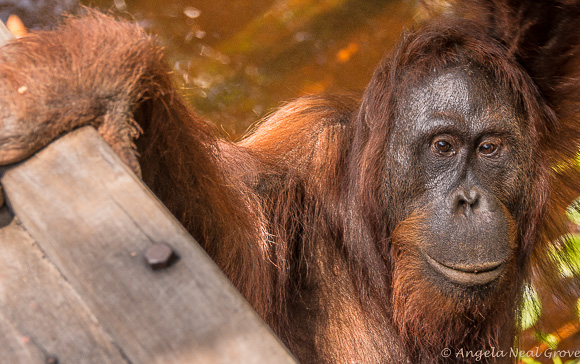 Endangered orangutan at Camp Leakey