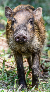 Wild boar at Camp Leakey, conservation center for Endangered Orangutans