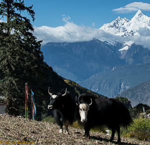 Shangri-La: Yaks and Mt. Kawagebo. Angela Neal Grove