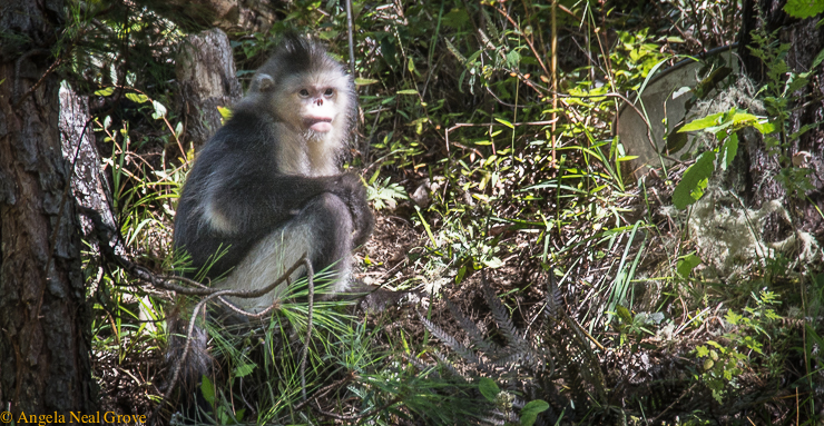 Endangered Snub nosed monkey in Yunnan mangrove