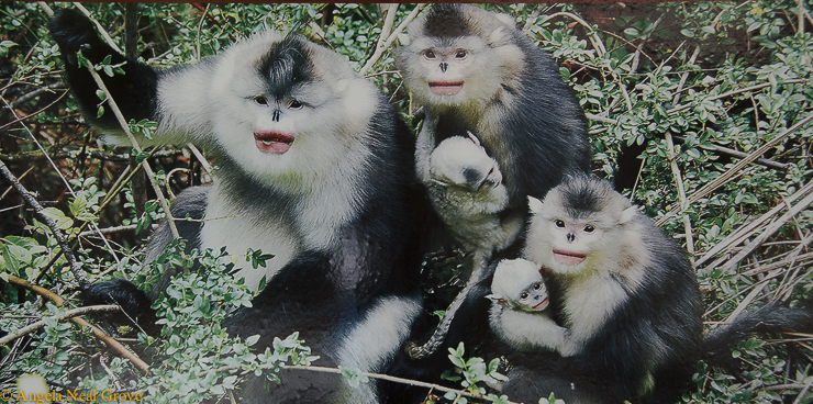 Poster of monkeys at conservation reserve angrove