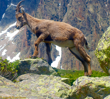 Mont Blanc Challenge: Ibex - mountain goat seen on mountainside near Chamonix in France