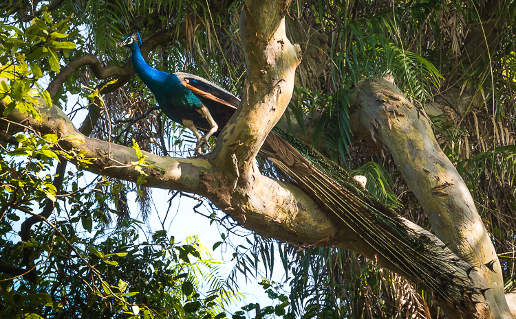 Sir Lanka: A Paradise Discovered. Sri Lanka is full of wildlife and birds. There are several national parks. This peacock is in the Ulagalla Hotel grounds. //Image: A.N.Grove.