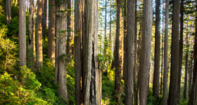Ancient Redwood Forest Giants. Afternoon sun on redwoods on the Damnation Creek Trail. This is one of the most beautiful old-growth redwood areas.