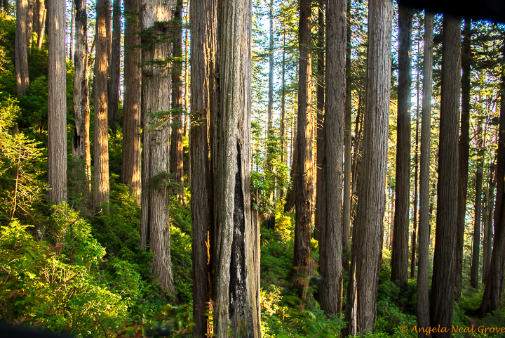 Ancient Redwood Forest Giants