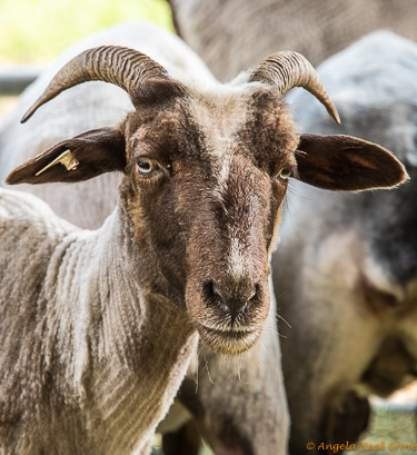 Heirloom Seeds Expo has Global Message: Navajo-Churro sheep, one of the rare breeds at the Expo. The UN has begun a research group to protect and saving the planets genetic livestock diversity
