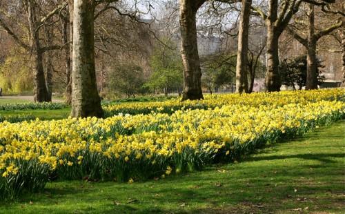 Daffodils in Green Park near Buckingham Palace - A.N. Grove