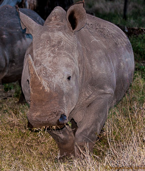Baby rhino on Lewa