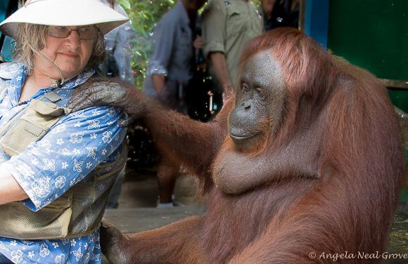 Galdikas at Camp Leakey with endangered orangutan