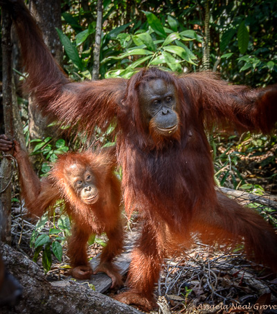 Mother and baby endangered orangutan