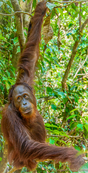 Endangered Orangutan - when fully grown they have an arm-span of 7 feet
