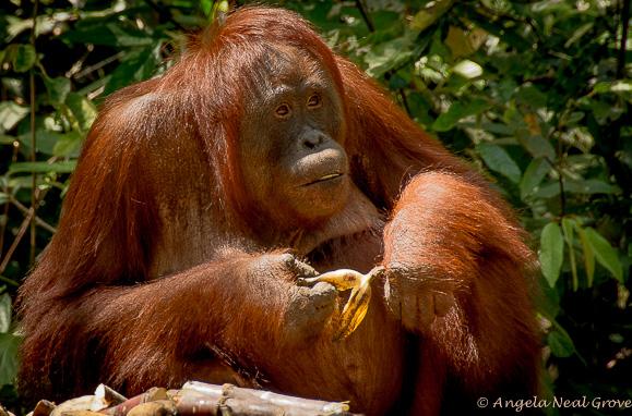 Endangered orangan with banana
