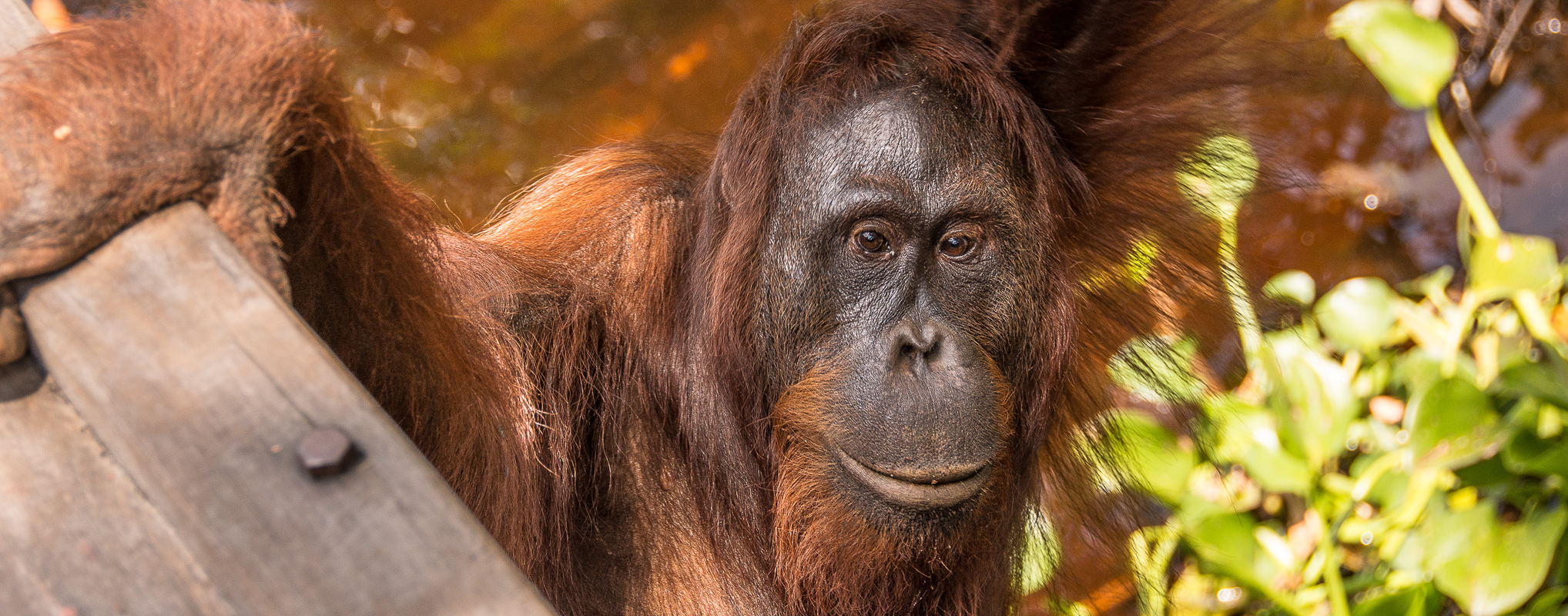 Endangered Orangutan at Camp Leakey, Borneo | Photo: Angela Neal Grove
