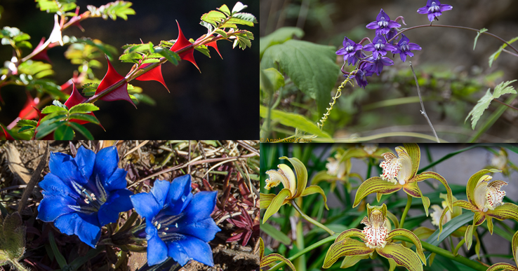 Shangri-La: Collage of wild flowers growing in Yunnan Province: large red rose thorns, wild Delphiniums, Gentians, Cymbidiums | Angela Neal Grove