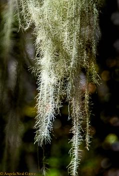 Wild lichen angrove