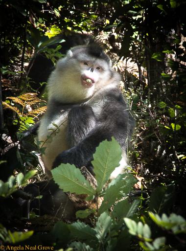 Snub nosed monkey munching lichen, their staple diet. angrove