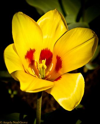 Sensational tulip: Tulip growing in a Park iN Almaty, Kazahkstan
