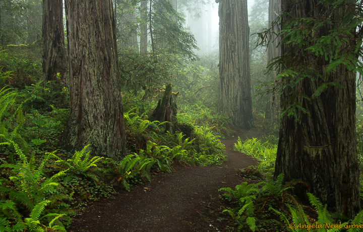 Ancient Redwood Forest Giants . Lady Bird Johnson Grove of old growth redwoods, Northern California