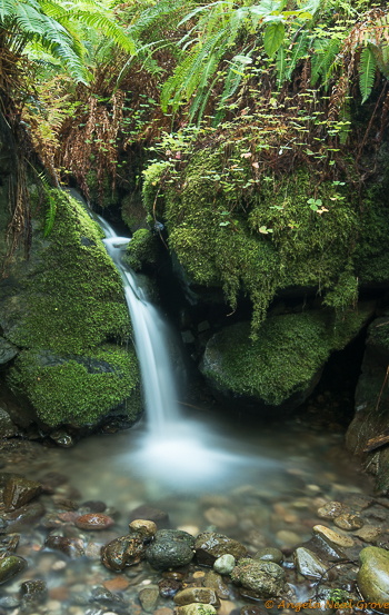 Ancient Redwood