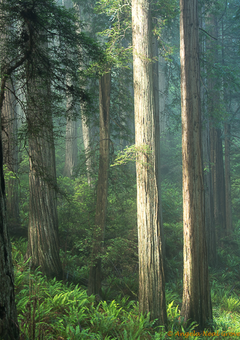 Ancient Redwood Forest Giants. Early morning sun shines through the misty forest