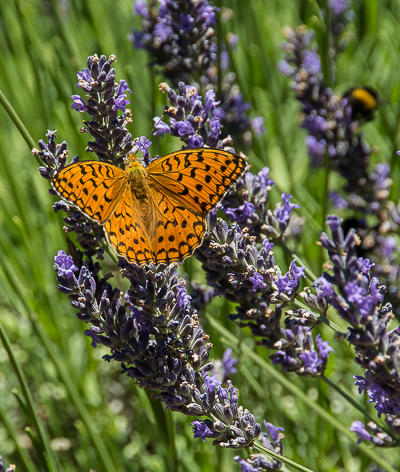 Florence highlights and Tuscan Tales: A butterfly stretches its wings on some lavender in the gardens of Il Molino de Grace, a winery in Panzano, Chianti