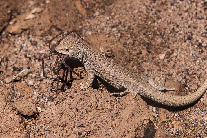Otherworldly Atacama Desert. Lava Lizard snags a spider snack. There is little wild life in the arid desert. But when hiking I saw this lizard darting under a rock. When the guide lifted the rock we discovered it had a huge spider clenched in its jaws. PHOTO; ANGROVE