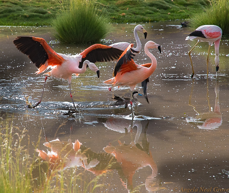 Otherworldly Atacama Desert. Flamingoes and waterfowl in the wetlands near the El Tatio Geyser field. PHOTO; ANGROVE