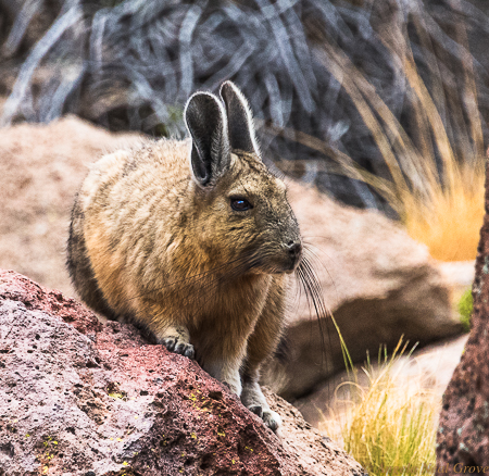 Otherworldly Atacama Desert.  Viscacha a chincilla-like long tailed rabbit which lives in the high altitude of the Atacama desert.PHOTO; ANGROVE